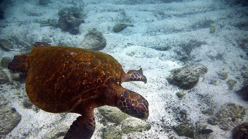 Una tortuga de mar verde (Chelonia mydas) en la isla de San Cristóbal, Archipiélago de Galápagos, el 1 de septiembre de 2009. AFP PHOTO / Pablo Cozzaglio (Foto crédito debería leer.) (PABLO COZZAGLIO / AFP / Getty Images)