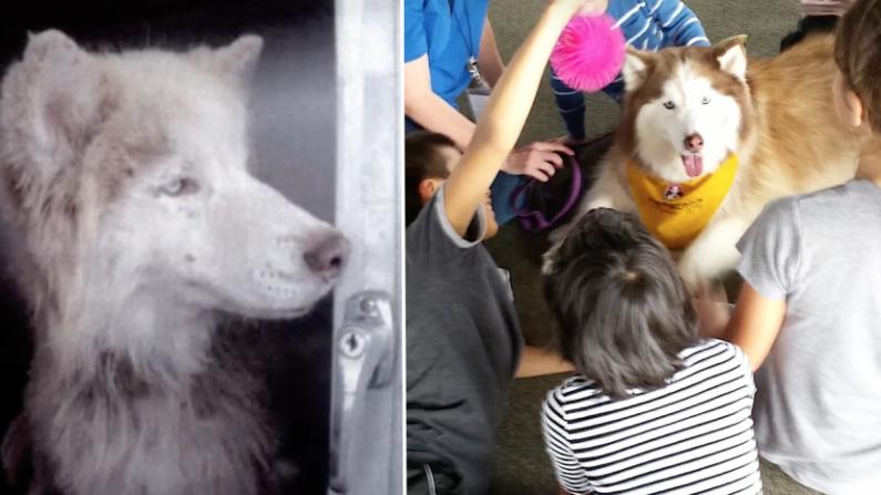 Un cachorro siberiano abusado se convierte en una inspiración para niños maltratados