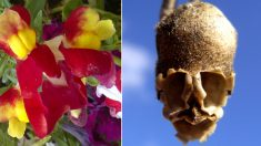 Esta hermosa flor toma la forma de un cráneo cuando muere