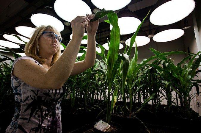 Un investigador toma muestras de tejidos de plantas de maíz MG en la sede de Monsanto en St. Louis en esta foto de archivo. (Brent Stirton/Imágenes Getty)