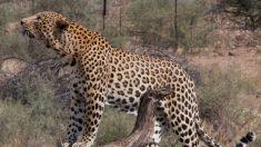 """Leopardo hembra cazó a un mono babuino y luego adoptó a su bebé, ¡qué """"gran"""" instinto maternal!"""