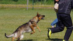 Perrito guardián le dio merecida lección a un incrédulo ladrón para proteger su hogar