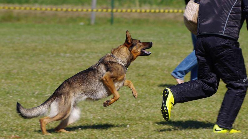 Perro pastor alemán persiguiendo a ladrón. Imagen ilustrativa. (Vilve Roosioks/Pixabay)