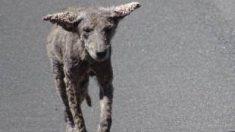 Advierten la presencia de 'perros zombis' en Chicago