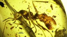 Hormiga de 98 millones de años sorprende por la estructura metálicas en su cabeza