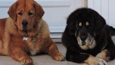 Juez ordena cortar las cuerdas vocales a 2 perros porque sus ladridos molestaban a los vecinos