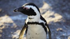 Fósil de pingüino enano revela que convivió con especies gigantes hace 34 millones de años