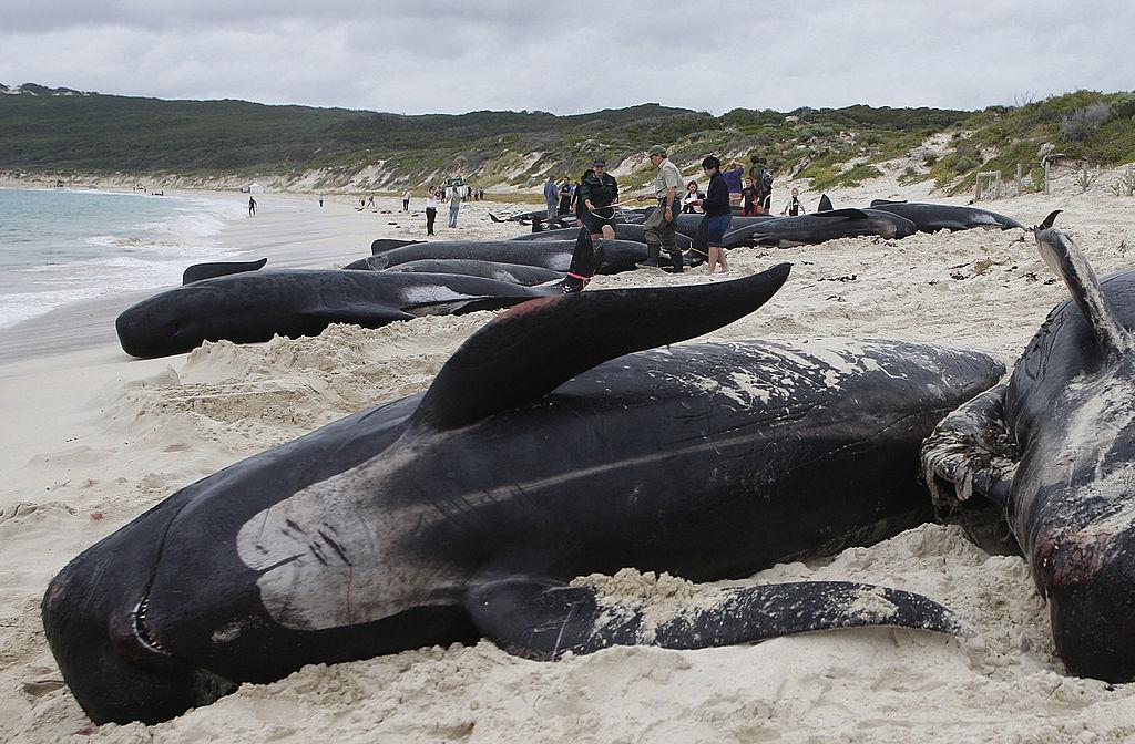 Los varamientos de ballenas podrían ser provocados por tormentas solares