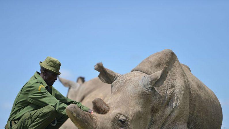 El Parque Nacional de Matobo, en Zimbabue, es uno de los pocos lugares en los que se puede observar a los rinocerontes en su hábitat natural. Desafortunadamente la caza furtiva podría hacer que pronto perdamos la oportunidad de conocerlos. ( TONY KARUMBA/AFP/Getty Images)