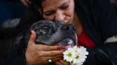 Dos pitbull liberados de sus cadenas pasan de la absoluta tristeza a la felicidad total