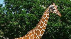Visitante de un zoológico traspasa una reja y monta a una jirafa