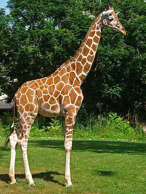 Las jirafas reticuladas son una especie vulnerable. Los conservacionistas se preguntan si la reticula de estas jirafas desaparece con el tiempo o si esta condición se da desde el nacmiento. (Wikipedia)