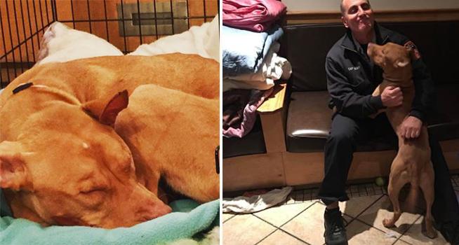 Bomberos le dieron un hogar momentáneo a este pitbull, pero nunca imaginaron lo que ocurriría