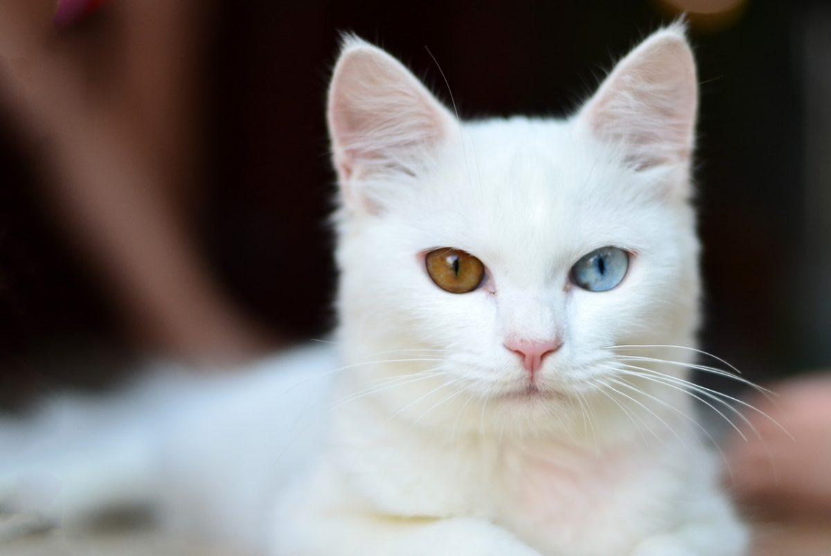 gatito polidáctico