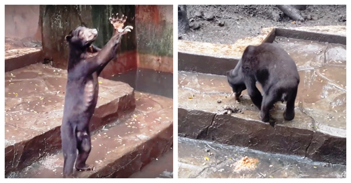 """Polémica: osos hambrientos """"mendigan"""" comida y comen sus heces en zoológico"""