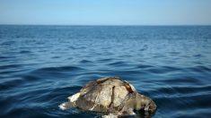 Cientos de tortugas aparecieron muertas en la costa de El Salvador