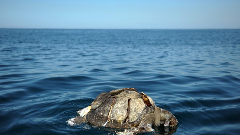 Una tortuga marina lora muerta (Lepidochelys olivacae) flota cerca de la playa de Los Cobanos, 84 Km al oeste de San Salvador, el 4 de febrero de 2012. (Jose CABEZAS/AFP/Getty Images)