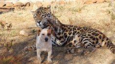 Jaguar se abalanzó sobre un perrito y los visitantes se asustaron. Luego supieron qué estaba pasando
