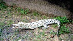Encuentran extraño cocodrilo blanco en el norte de Australia