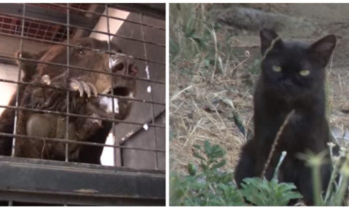 Zoológico nota que gata callejera se infiltraba, pero no esperaban que cayera a la jaula de los osos