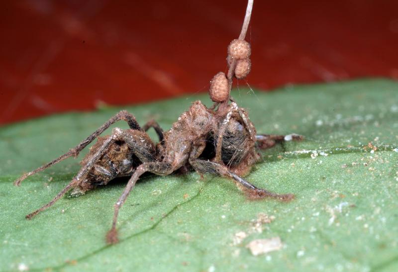 """Descubren la asombrosa causa que provoca las """"hormigas zombis"""""""
