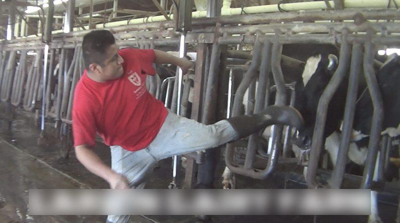 Difunden vídeo filtrado que muestra a trabajadores maltratando vacas lecheras
