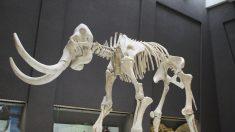 Un agricultor tenía un mamut lanudo de 15.000 años enterrado en su campo, ¡y no lo sabía!