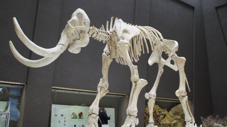 Restos fósiles de mamut exhibido en museo. Imagen ilustrativa. (M W/Pixabay)