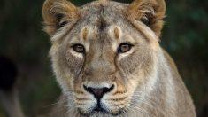 Filman el momento en que una leona ataca a un hombre que estaba acariciando a un león