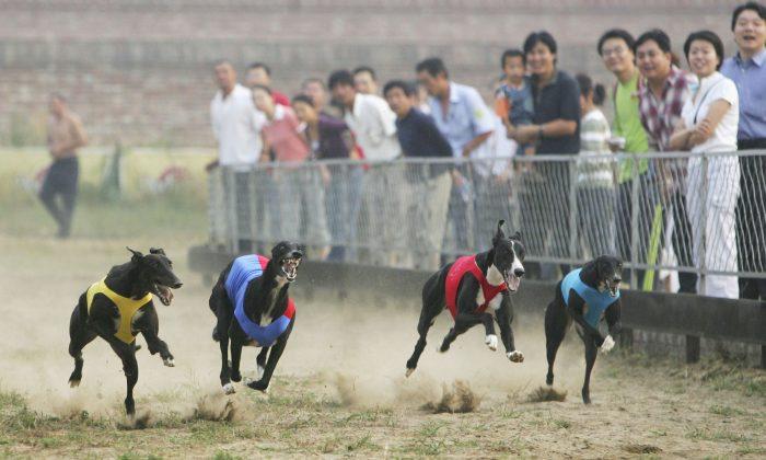 Galgos recorren la pista durante una carrera en la localidad de Songzhuang del distrito de Tongzhou el 16 de septiembre de 2006 en Beijing, China.(China Photos/Getty Images)