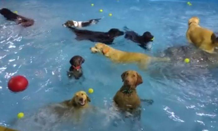 Resort canino abre su piscina a unos emocionados perros for Piscinas para perros grandes