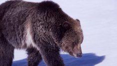 Impactante video muestra mujer en snowboard sin saber que un oso la está persiguiendo