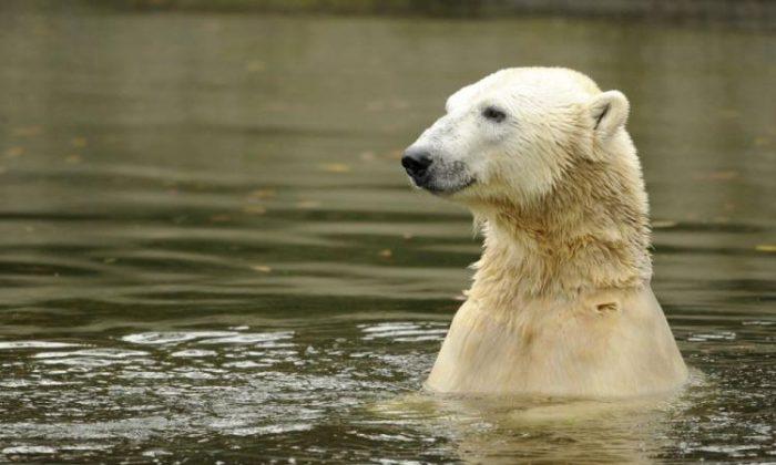 Polar oso Knut nada en su recinto del zoológico de Tiergarten en Berlín, el 19 de octubre de 2010. (Añadir Andersen/AFP/Getty Images)