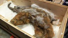 Mamut de 39,000 años descongelado y exhibido en Japón, es el ejemplar mejor conservado conocido