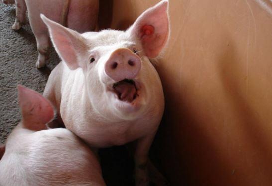 Mira como este cerdo enfrenta a los carniceros y salva a su hermano en el matadero