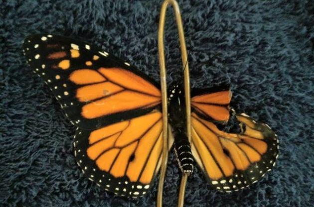 Con cirugía repara las alas de esta mariposa monarca, y ahora puede volar
