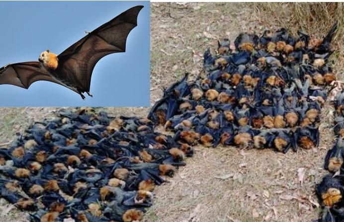 Cientos de 'zorros voladores' mueren hervidos por la ola de calor en Australia