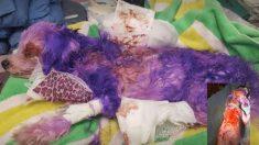 Perrita maltés muestra severas quemaduras después que la tiñeron de color violeta