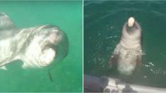 Navegantes filman a delfín nadando hacia ellos, pero cuando se acerca y abre la boca; es increíble