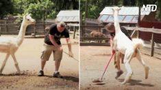 """Mira a este hombre """"correr por su vida"""" luego de que llama lo viera entrar a jaula del zoológico"""