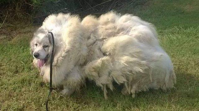 Dan cambio de imagen a perro abandonado: luego de afeitarse 16 kilos de pelo, luce irreconocible