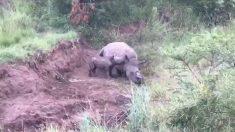 Devastador: rinoceronte de 1 mes tratando de amamantarse de su madre asesinada por su cuerno