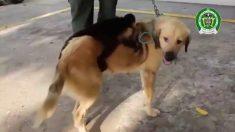 Esta perrita colombiana adoptó un mono capuchino