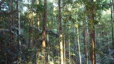 Árboles tropicales se resisten a morir y toman acción propia contra la sequía
