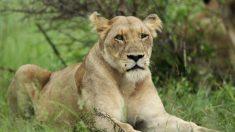 Muere una mujer tras ser atacada por una leona en Sudáfrica