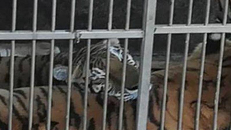 Trabajador intentó alimentar unos tigres y uno devoró sus dos brazos