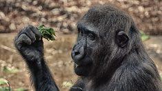Gorila abraza a su rescatista: la verdad detrás de una foto que conmovió al mundo