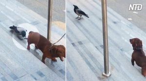 Cuervo piensa que la cola de este perro salchicha es una 'jugosa oruga' y ¡la diversión comienza!