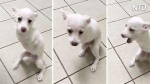 Perrito de dos patas se cree el rey de la veterinaria: míralo caminar ¡parece el dueño del lugar!