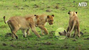 Rodeada de 4 leonas hambrientas, aunque es más pequeña, mira cómo asusta a los grandes felinos